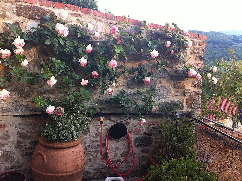 Progettazione outdoor per un giardino in toscana for Pierre de ronsard rosa